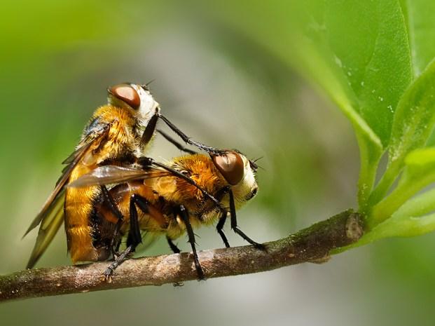 Mistbienenpaar