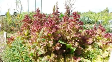 Salatbaum-Wald