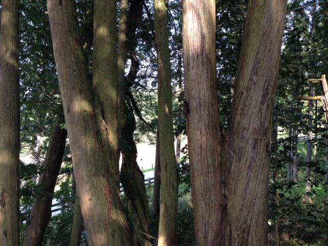 當勝神社の連理木1