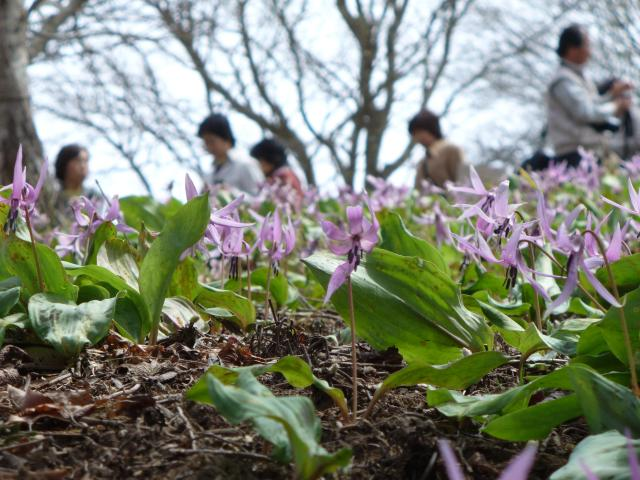 【4月上旬〜中旬】箟岳かたくりまつり|箟岳山箟峯寺境内の北側の斜面一面にかたくりが群生し、春の訪れを告げます。