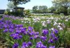 【6月14日(金)〜7月3日(水)】第36回 山王史跡公園あやめ祭り|約300品種のハナショウブが観賞できる。みちのく鹿踊大会は6月16日(日)、あやめ祭り神楽大会は6月30(日)に開催