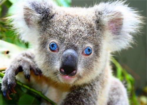 significado de soñar con koalas