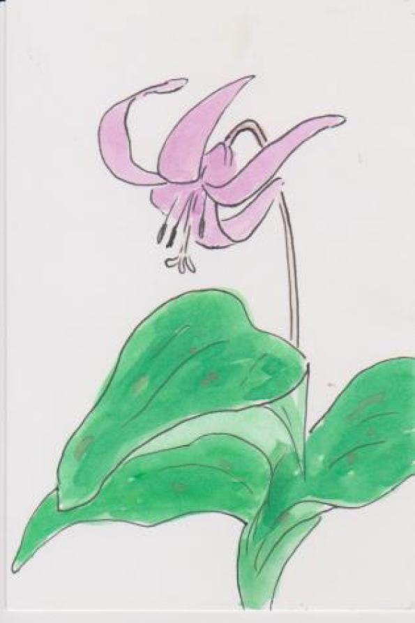 カタクリの花の絵ー7