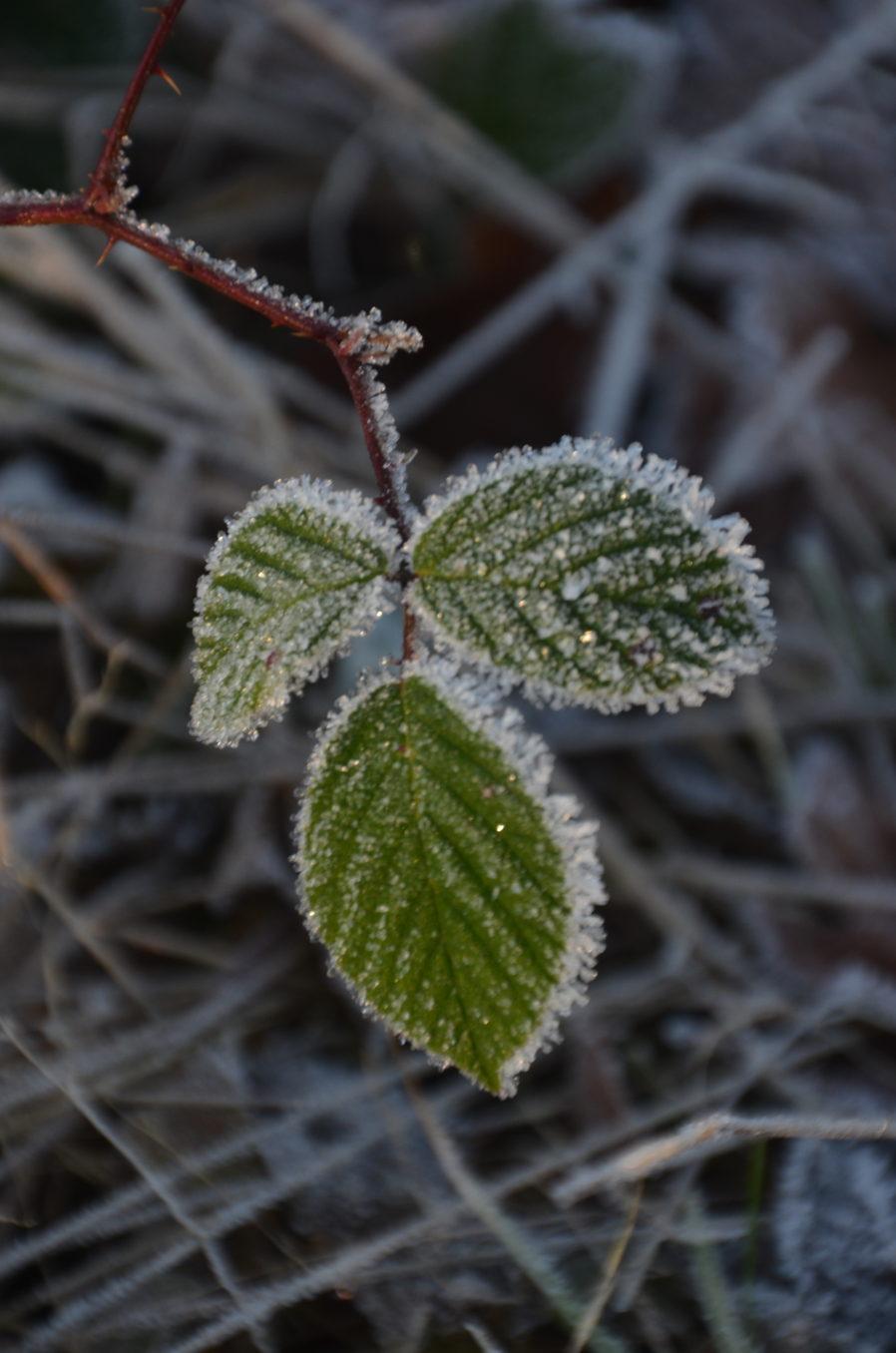 Frostmorgen