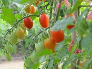 tomato333