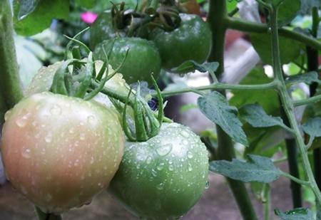 katesaien-tomato