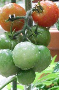 hurutexika-tomato (3)