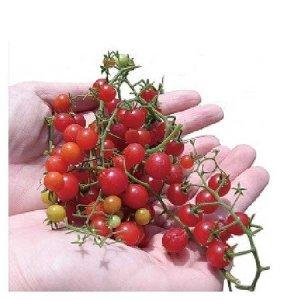 Micro-tomato001