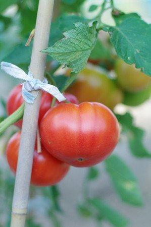 tomato-new017