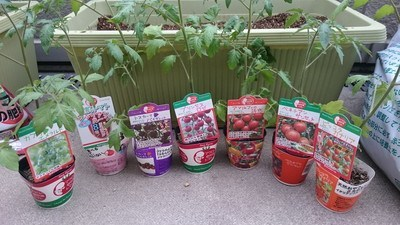 tomato-uetuke001