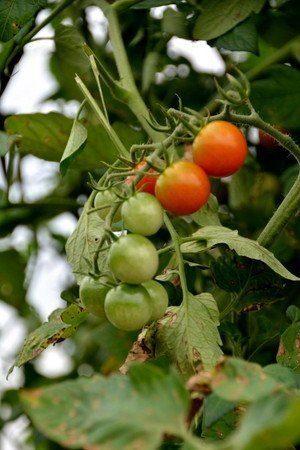 tomato007