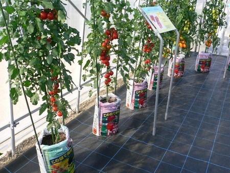 tomato-hukurosaibai002