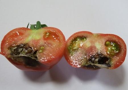 tomato-sirigusare01