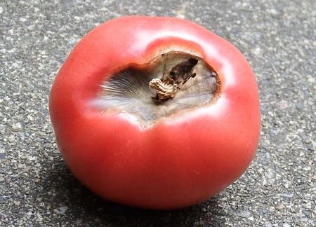 tomato-sirigusare04