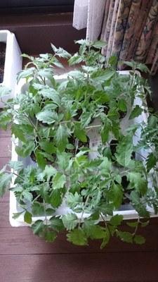 tomato-uetuke01