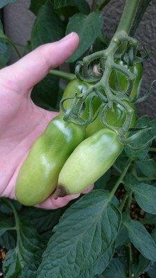 tomato-tati004