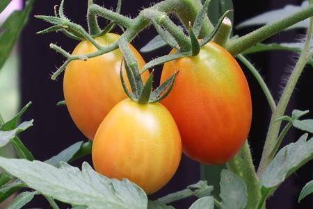 tomato-new01