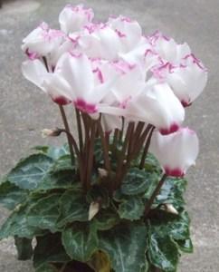 Gardencyclamen (1)