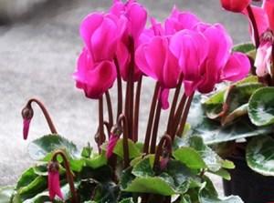 Gardencyclamen (2)