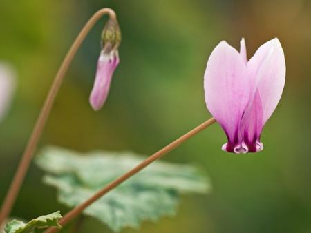 Primitive cyclamen