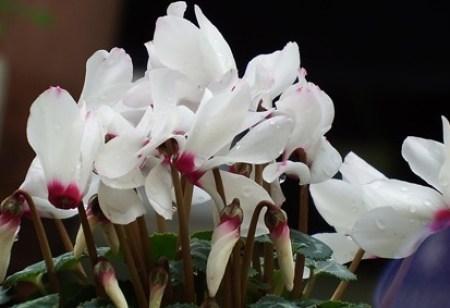 Gardencyclamen004