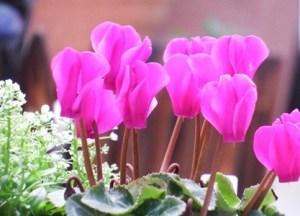 Gardencyclamen006