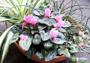 gardenCyclamen001