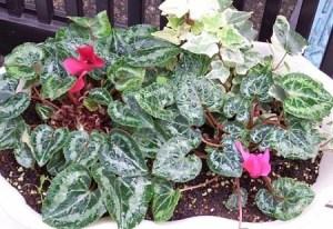 gardenCyclamen