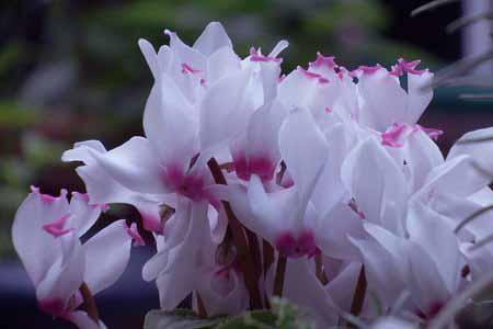 gardencyclamen002-4