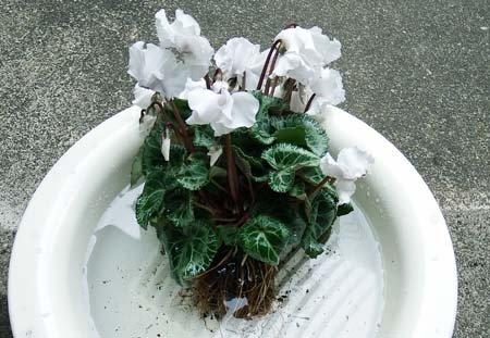 gardencyclamen-suiko03