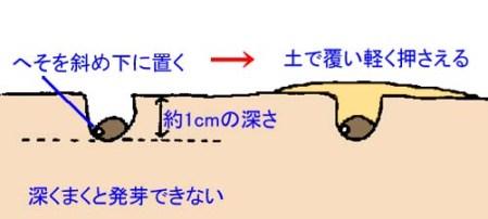tanemaki (2)