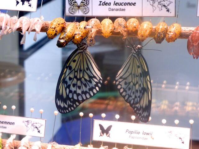 Schmetterlingsgeburt Parque de las Ciencias 2015-11-08 Foto Elke Backert
