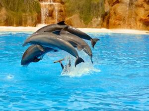 Teneriffa Puerto de la Cruz Loro Parque Delfin-Show Vierer-Sprung 2016-03-23 Foto Elke Backert