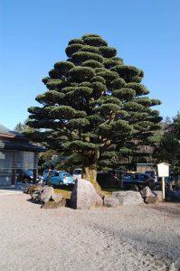 石川護国神社 松の木