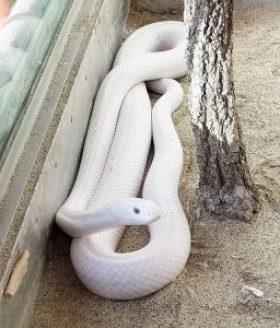 蛇石神社 白蛇