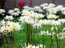 香林寺 白い彼岸花
