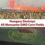 【すごい!】ハンガリーでは遺伝子組み換えトウモロコシの畑はすべて焼き払うらしい