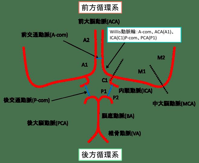 脳の血管の前方循環系、後方循環系、willis動脈輪のイラスト