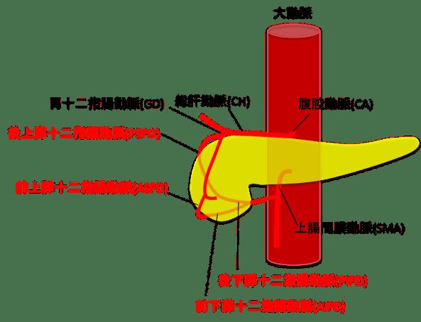 膵臓を栄養する血管の図