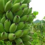 กล้วยน้ำว้า ชื่อกล้วยๆ แต่สรรพคุณไม่กล้วย
