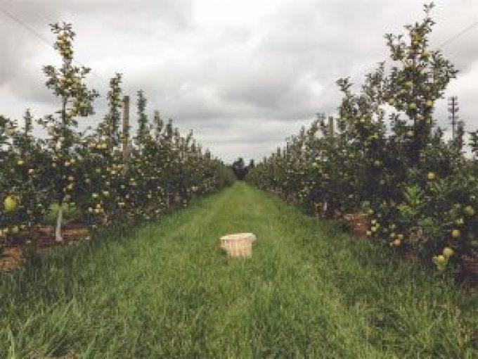 Sad jabłkowy idealne jabłka na ocet