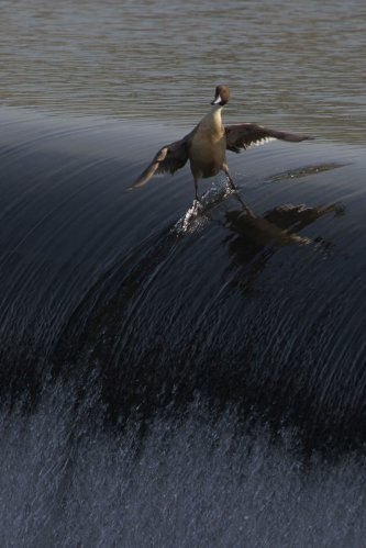 el pato surfista más cool del mundo