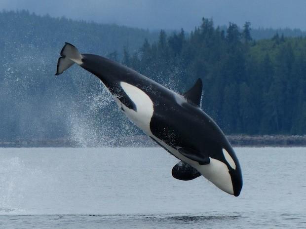 Orca o ballena asesina