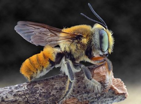 abeja común