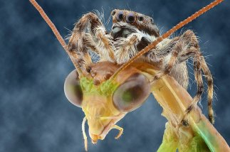 mantis religiosa con araña en la cabeza