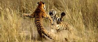 national-geografic-2014-tigre-pelea-india