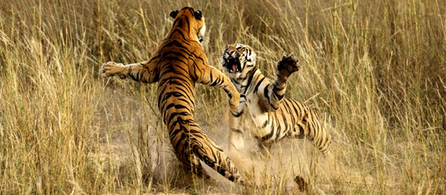national-geografic-2014-tigre-pelea-india
