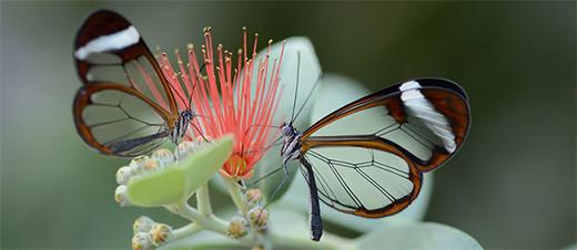 naturaleza-mariposa-alas-cristal