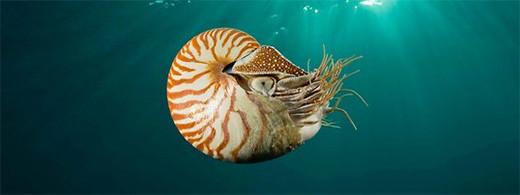nautilus-cefalopodo-molusco-marino