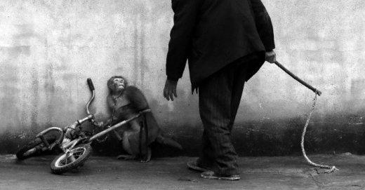 entrenador de circo amenaza a un macaco para que ande en bicicleta